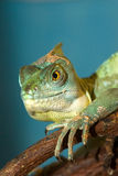 Portrait of an chameleon Stock Images