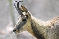 Portrait of chamois Royalty Free Stock Image