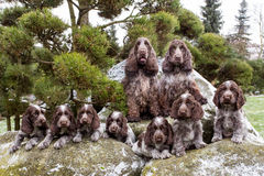Portrait of champions of English Cocker Spaniel family Stock Photos