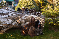 Portrait of champions of English Cocker Spaniel family. Outdoor royalty free stock photography