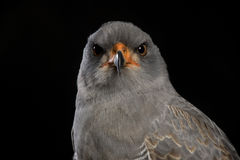 Portrait of a Chanting Goshawk Stock Images