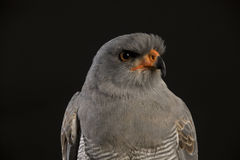 Portrait of a Chanting Goshawk Royalty Free Stock Images
