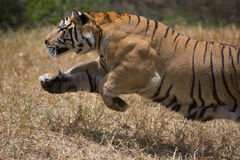 Portrait of a charging male wild tiger. Portrait of male wild tiger in action Stock Photo