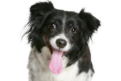 Portrait of a charming black & white smiling dog Royalty Free Stock Photos