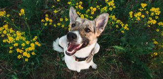 View from above at happy mongrel dog with standing and looking at camera, green grass and yellow flowers background. Portrait of charming happy mixed breed white royalty free stock images