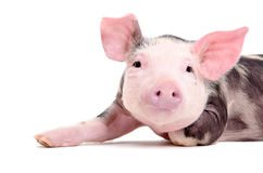 Portrait of the charming little pig Stock Photography