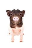 Portrait of the charming little pig Stock Photo