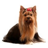 Portrait of a charming yorkshire terrier Royalty Free Stock Photos