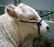 Portrait Of Charolais Bull Stock Photography