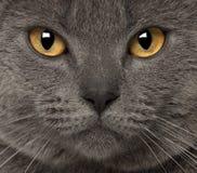 Portrait of Chartreux Stock Photos