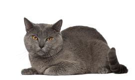 Portrait of Chartreux cat, 1 and a half years old Stock Photography