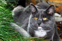 Portrait Chartreux cat Royalty Free Stock Photos