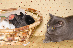 Portrait of chartreux cat looking baby rabbits Stock Photography