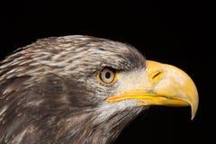 Portrait chauve de leucocephalus d'Eagle Haliaeetus également connu sous le nom d'Ame Photographie stock