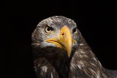Portrait chauve de leucocephalus d'Eagle Haliaeetus également connu sous le nom d'Ame Images stock