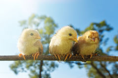 Portrait cheerful of babies chickens on nature background. Poultry farming stock photo