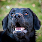 Portrait of cheerful domestic dog labrador retriever Stock Image