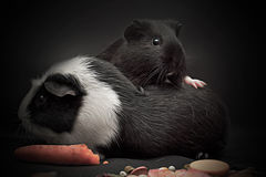 Portrait of a cheerful guinea pig Royalty Free Stock Images