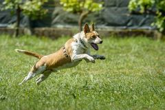 Happy hound dog running in the grass stock image