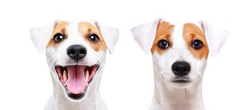Portrait of a cheerful and sad dog breed Jack Russell Terrier. Closeup, isolated on white background stock image