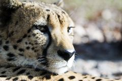 Portrait of cheetah Royalty Free Stock Photography