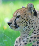 Portrait of cheetah. In zoo royalty free stock images