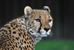 Portrait of cheetah. In zoo stock image