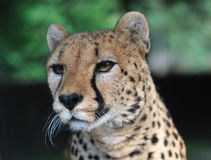 Portrait of cheetah Royalty Free Stock Image
