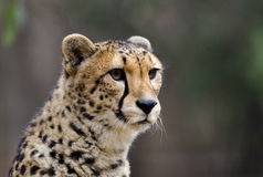 Portrait of a Cheetah Stock Photography
