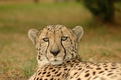 Portrait of cheetah. Outdoors with green grass background Stock Photography