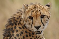 Portrait of a Cheetah (Acinonyx Jubatus) Stock Photography