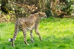 Portrait cheetah (Acinonyx jubatus) Royalty Free Stock Photo