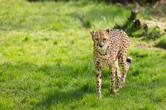 Portrait cheetah (Acinonyx jubatus) Stock Image