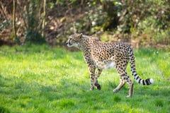 Portrait cheetah (Acinonyx jubatus) Royalty Free Stock Image