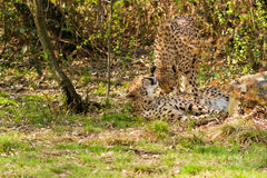 Portrait cheetah (Acinonyx jubatus) Royalty Free Stock Images