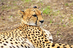 Portrait of cheetah Stock Images
