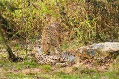 Portrait cheetah (Acinonyx jubatus) Stock Images
