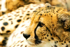 Portrait of cheetah. Royalty Free Stock Photo