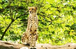 Portrait of cheetah. Acinonyx jubatus. Wild animal and wildlife Stock Photos