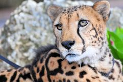 Portrait of cheetah. Closeup of a cheetah in a garden in Zoo Miami, South Florida stock photography