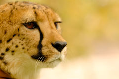 Portrait Cheetah. In color brown Stock Image