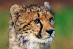 Portrait of cheetah cub Stock Photos