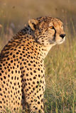 Portrait of a cheetah in golden afternoon light. A male cheetah Acinonyx jubatus poses in golden afternoon light. Ol Pejeta Conservancy, Kenya Royalty Free Stock Photo