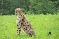Portrait of Cheetah on the grass. stock photo