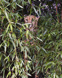 Cheetah hiding. Portrait of a cheetah hiding in jungle Royalty Free Stock Photography