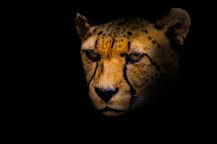 Portrait of a cheetah isolated on black Stock Photos