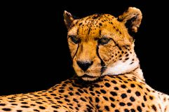 Portrait of a cheetah isolated on black Stock Image