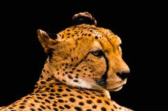 Portrait of a cheetah isolated on black Royalty Free Stock Image