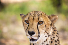 Portrait of Cheetah looking at the camera, Namibia. Selective fo Stock Images