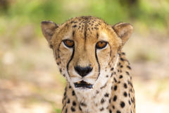 Portrait of Cheetah looking at the camera, Namibia. Selective fo Royalty Free Stock Images
